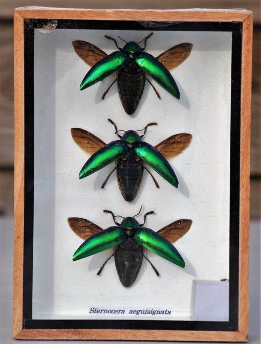 sternocera insecten-vitrine-box