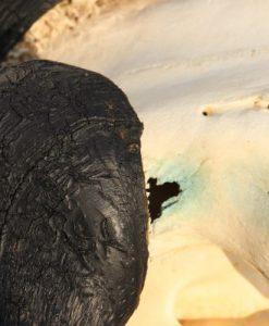 gnoe-gnu-wildebeest-taxidermy-gewei-