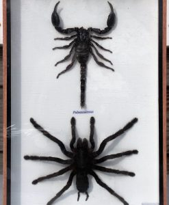 insecten-box-scorpioen-spin