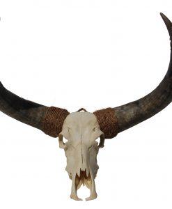 Longhorn-bull=schedel-schaedel-skull