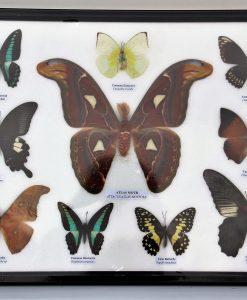 vlinder-verzameling-atlas-mot-