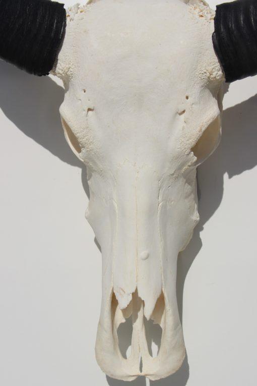 waterbuffel-schedel-zwarte-hoorns-139