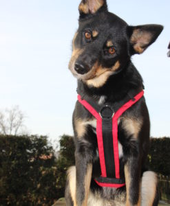 annyx-hondentuig-rood-zwart