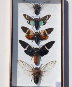 Grote -Cicaden- in- een- glas- vitrine- lijst- met- houten -omranding