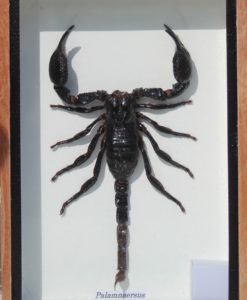 Scorpion-framed-collection-taxidermy