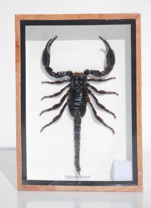 schorpioen-opgezet-insecten-verzameling-glasbox