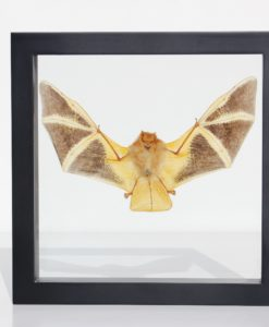 vleermuis-opgezet-xl-bat