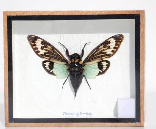vlinder-opgezet-nachtvlinder