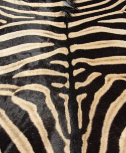zebra-vel-huid-burchell-XXL-a-kwaliteit-afrika-