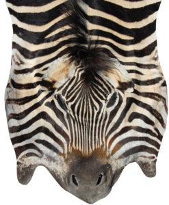 zebra-huid-zebra-vel-A-kwaliteit-burchell-2