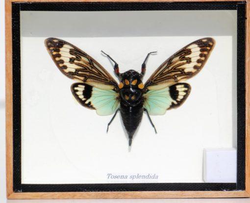 nacht-vlinder-cicade-