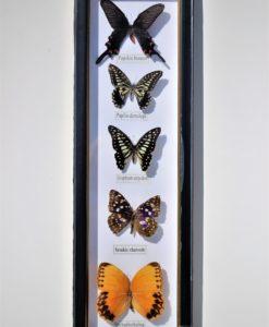 vlinders verzameling in lijst voor aan de muur