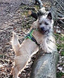 hondentuig-annyx-cairn-terrier-