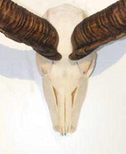 Donja-hd-kudu-gewei-xxl