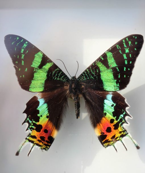 madagascar vlinder