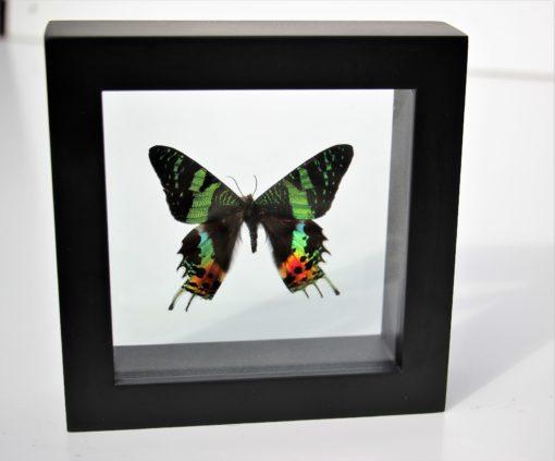 opgezette vlinder in luxe lijst