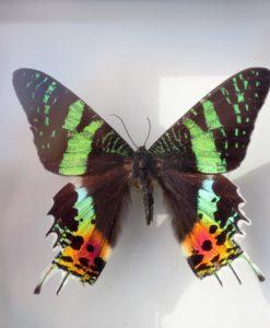 opgezette vlinder in luxe zwarte lijst Urania Ripheus