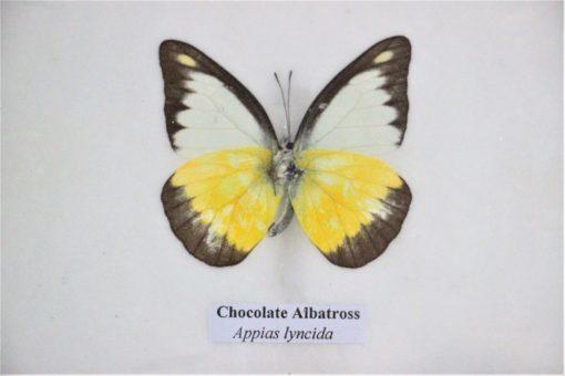 detail-bijzonder mooie vlinder in mat zwarte lijst Hand gemaakt