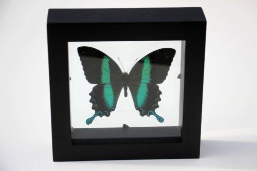 papillio blumei vlinder in luxe diubbelglas lijst-