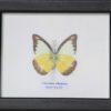 bijzonder mooie vlinder in mat zwarte lijst Hand gemaakt EAN 7061112318400