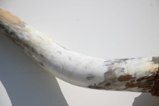 detail-foto-hoorn-longhorn