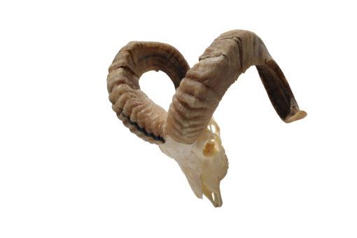 ram-schedel-bokken-gewei-