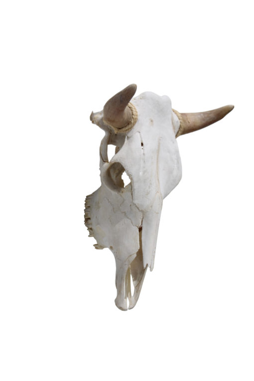 runderschedel-koeienkop-nr-9-