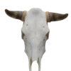 runderschedel-stierenkop-nr-6-