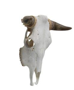 runderschedel-stierenkop-nr-6