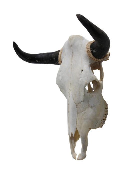 runderschedel-stierenkop