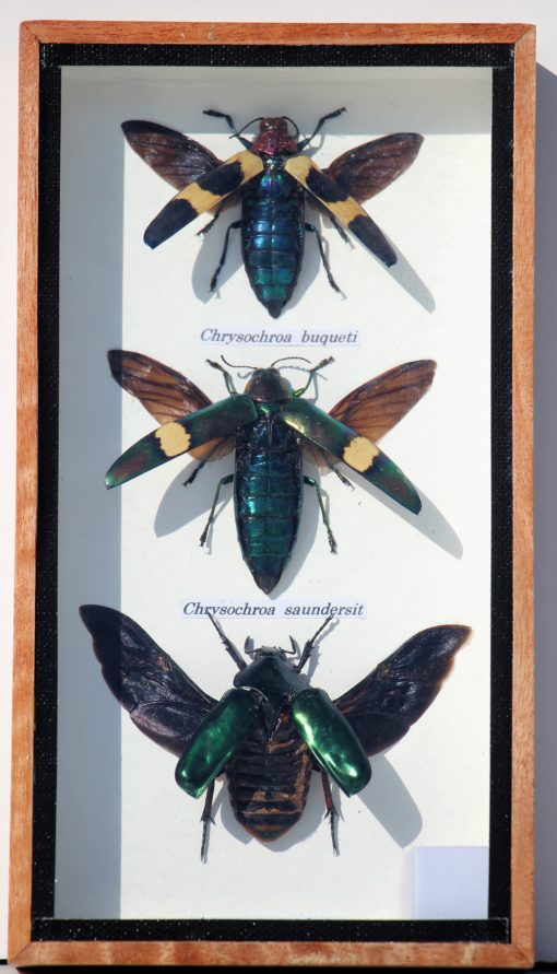 chrysocrowa-insecten