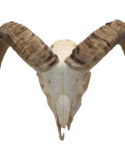 gewei-ram-bok-hoorns-nr-5