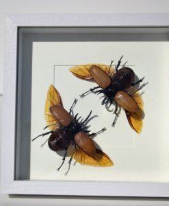 Eupatorus gracilicornis man / vrouw – insect in luxe lijst