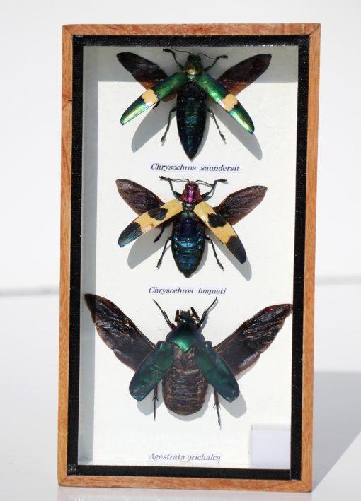 chrysocrowa-insecten-2