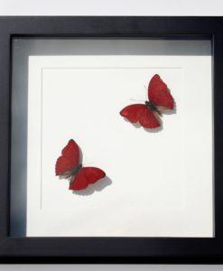 rode-vlinderlijst-