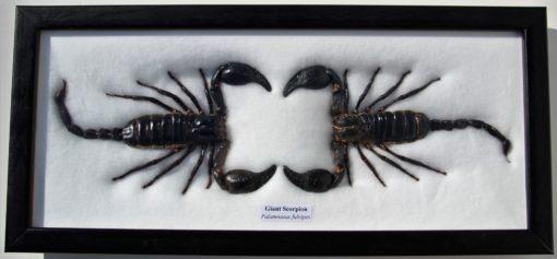 2 grote insecten schorpioenen