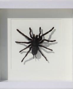 tarantula in luxe lijst-