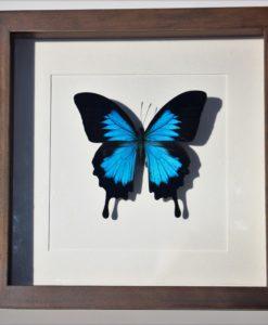 vlinder-papillio-ulyssus