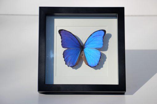 vlinder-xl-blauw-in-luxe-lijst-Morpho didius