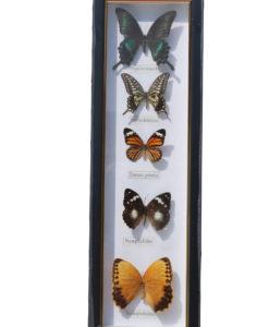 5 vlinders in een wandlijst. nr 1