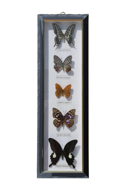 5 vlinders in een wandlijst. nr 10