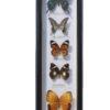 5 vlinders in een wandlijst. nr 11