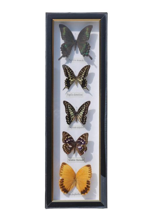 5 vlinders in een wandlijst. nr 15