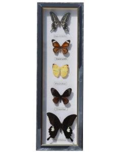 5 vlinders in wandlijst-opgezet