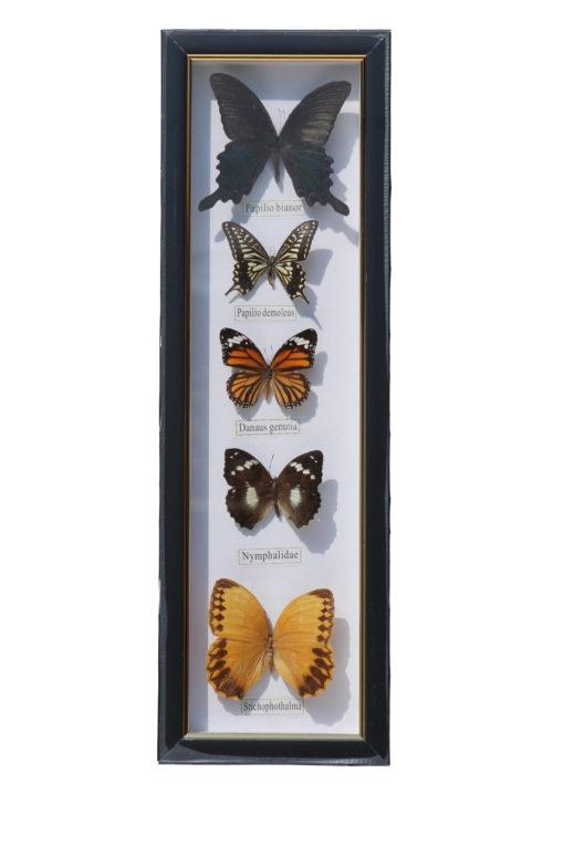 5 vlinders in een wandlijst. nr 7