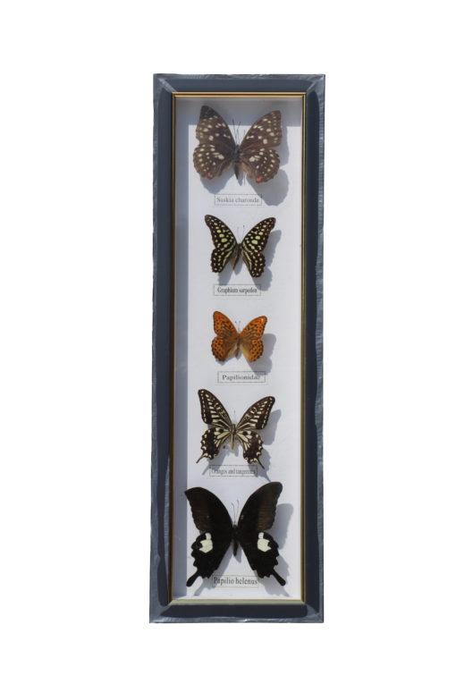 5 vlinders in een wandlijst. nr 8