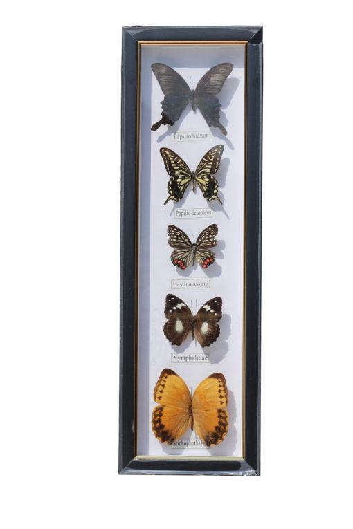 5 vlinders in een wandlijst. nr 9